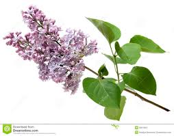 branch of a lilac isolated on white background royalty free stock
