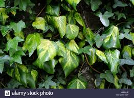 variegated ivy stock photos u0026 variegated ivy stock images alamy
