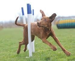 crufts australian shepherd 2014 67 best dachshund shows images on pinterest dachshunds group