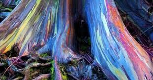 Rainbow Eucalyptus Eucalyptus Tree