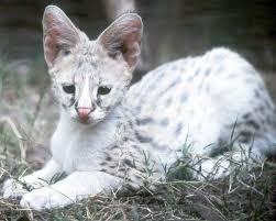 best 25 serval kitten ideas on pinterest african serval cat