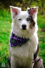 australian shepherd quotes 277 best dogs australian shepherds 1 images on pinterest