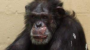 save the chimps pays tribute to lou july 2011 nature pbs