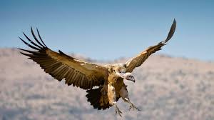 Seeking Vulture Downward Spiral Of Dying Vultures Sci Tech Science M G