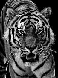 tiger predator fur black and free photo on pixabay