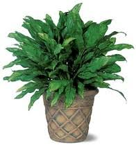 Plants For Office Best Plants For Office Or Home In Dc Metro Area Palace Florists