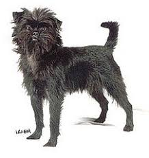affenpinscher youtube affenpinscher affenpinscher information picture and overviews