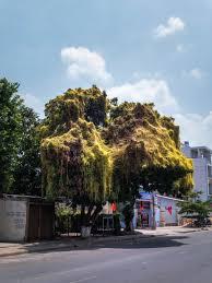 cool trees pleiku to dak glei u2013 ventures and adventures