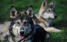 belgian shepherd timberwolf the household pets that are u0027half wolf u0027 telegraph