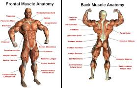 Anatomy Of Human Back Muscles Diagram Of Muslces In The Body Front And Back Human Anatomy