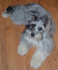 australian shepherd schnauzer mix miniature schnauzzie dog breed information and pictures