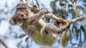 see a koala in the wild tourism australia