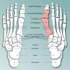 Foot Tendons Anatomy I U0027ve Got A Bunioncoon Rapids Chiropractic