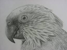 drawn parrot sketch pencil and in color drawn parrot sketch