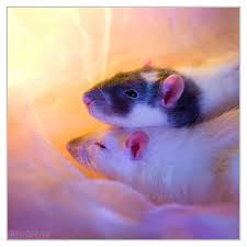 Exotic Color Names by Now That U0027s A Rat Of A Different Color Fancy Rat Varieties