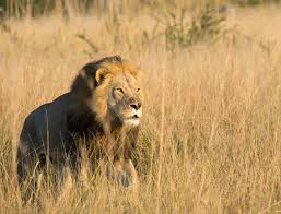 cecil the lion u0027s son xanda also killed by trophy hunter
