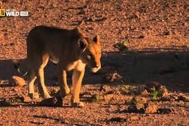imagenes de leones salvajes gratis documentales leones salvajes archivos documentales online gratis