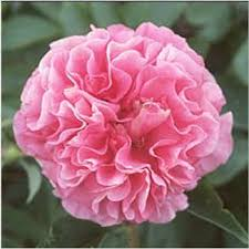 Birth Flower Of January - 28 january flower birth flowers carnation flower facts