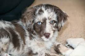 lifespan of australian shepherd about aussiedoodles u2013 aussiedoodle puppies for sale aussiedoodle