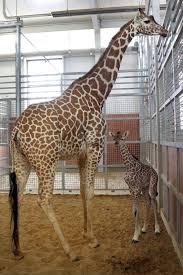 giraffe cam at dallas zoo shows birth of new calf chicago tribune