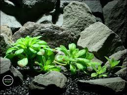 reptile terrarium plant green echeveria succulent from ron beck