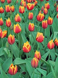 grow guide planting bulbs hgtv