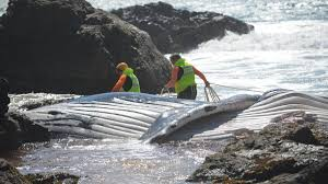 whale carcass exhumed on monday port macquarie news