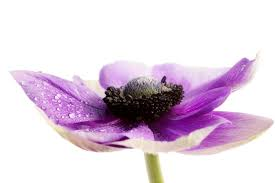 Flower Colour Symbolism - anemone flower meaning flower meaning