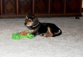 afghan hound and labrador retriever beagador beagle labrador mix info temperament puppies pictures