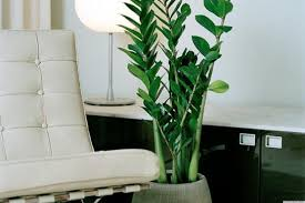 home plants modern living room with zamioculcas zamiifolia indoor plant