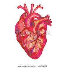 valentines day card anatomical heart vector stock vector 373236409