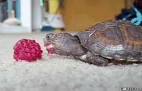 Tortoise Meme - gif tortoise viral viral videos