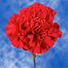 bulk carnations bulk carnations global