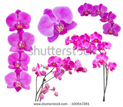 Flower Of Orchid - orchid isolated stock images royalty free images u0026 vectors