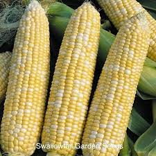 sweet corn seeds for sale vegetables garden seeds