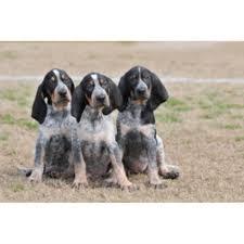 bluetick coonhound weight evenstar hounds bluetick coonhound breeder in ohatchee alabama