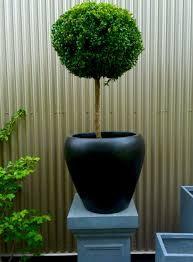 containers and boxwood u2014 pomarius nursery plants with character
