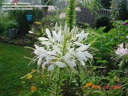 Cleome Flower - 44 best cleome maw u0027s garden flowers images on pinterest flowers