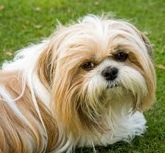 15 toy dog breeds that will make you want a little dog cutest
