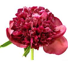 wholesale peonies fresh cut peony wedding flower on wholesale pricing
