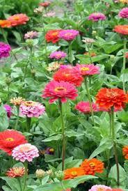 10 plants that beat the heat zinnias drought tolerant plants