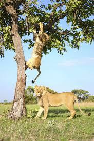 tree lion gif find u0026 share on giphy