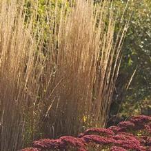 ornamental grass from new nurseries