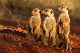 meerkat wikipedia