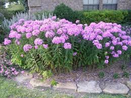Phlox Flower Tall Garden Phlox The Gardens Landscaping Pinterest Phlox