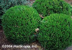 Smith Wholesale LLc Boxwood - Wintergreen - Bare Root at Sears.com