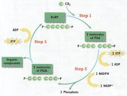 Where Do The Light Independent Reactions Occur Photosynthesis Notes Biology Junction
