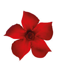 sundaville beauty red world u0027s no 1 mandevilla dipladenia