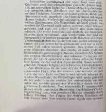 L Form K He Kaufen Bestimmungshilfe Des Lepiforums Phyllonorycter Pyrifoliella