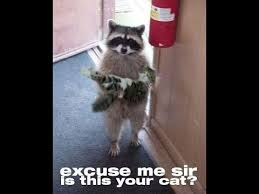 Racoon Meme - cute raccoon meme youtube